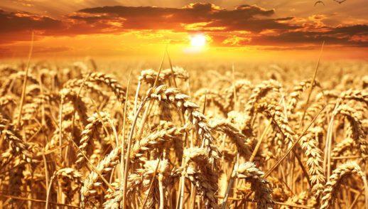 Vom Unkraut unterm Weizen